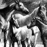 mares and foals etching