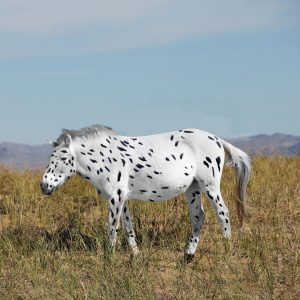 Artistic Reconstruction of Botai Horses Based On Genetic Evidence. Some of the Botai horses were found to carry genetic variants causing white and leopard coat spotting patterns. Photo: Ludovic Orlando, Seas Goddard and Alan Outram