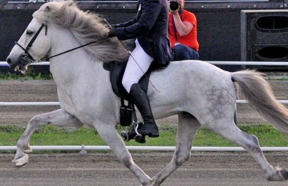 NEW TEST! Gaited horses