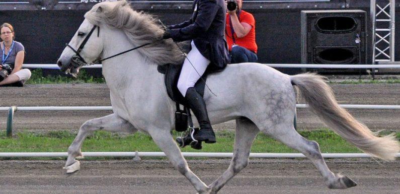 NEW TEST! Gaited horses