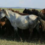 This image shows a herd of Kazakh horses in the Pavlodar region of Kazakhstan in August 2016. Credit: Ludovic Orlando