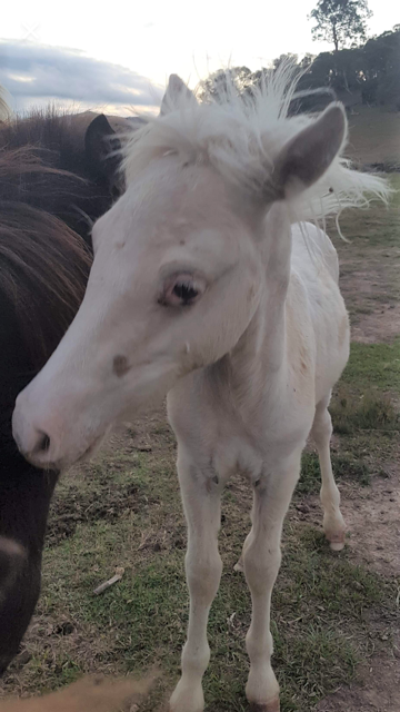 Lokie mostly white foal