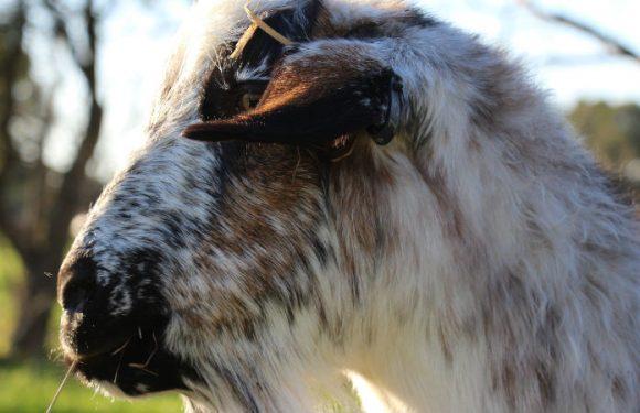 Goat testing