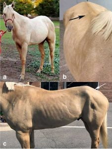 Fig. 1 (A) Normal muscle mass in an MYH1 E321G homozygote prior to developing IMM. (B) The same horse 4 months after an episode of IMM. The spine is prominent due to loss of epaxial muscles (arrow). (C) Atrophy of middle and superficial gluteal muscles (arrow) is present. From A missense mutation in MYH1 is associated with susceptibility to immune-mediated myositis in Quarter Horses.  Finno, Carrie J et al. Skeletal Muscle, 2018